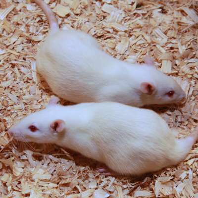 Rats - Large - FROZEN